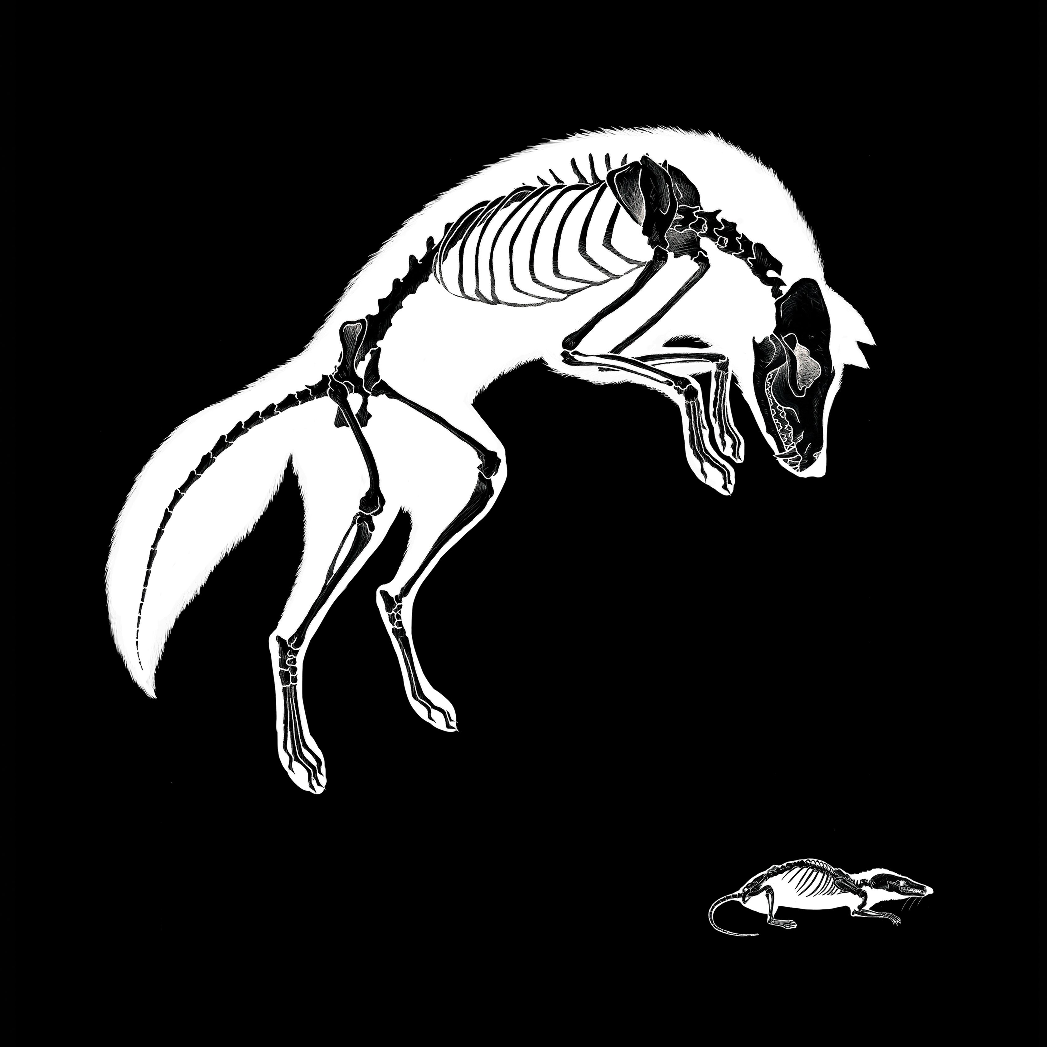Fox Skeleton Art Print // Limited Edition square anatomy taxidermy ...