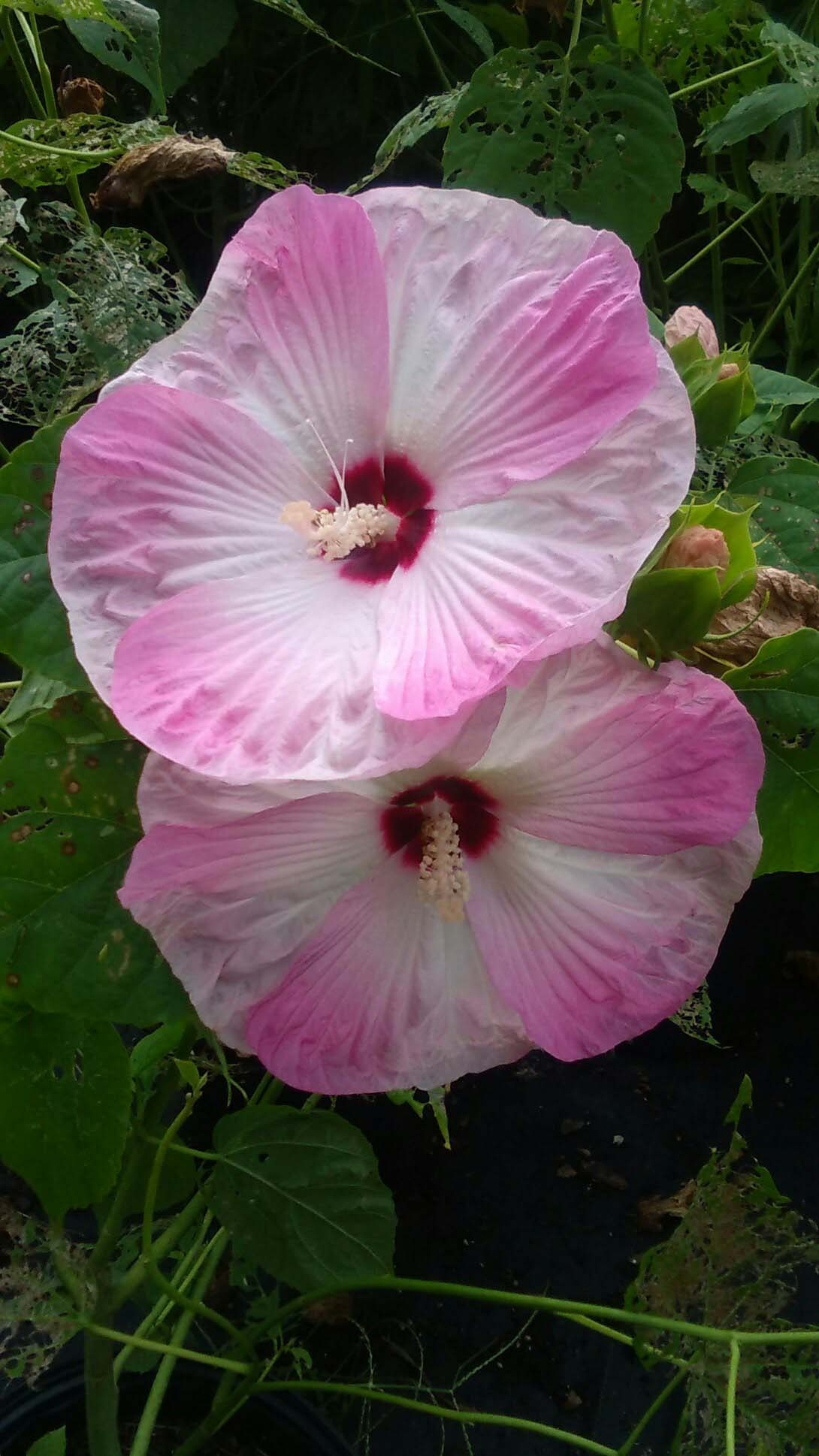 Pink Hardy Hibiscus 2 Gal Large Plant Huge Flowers Easy To Grow