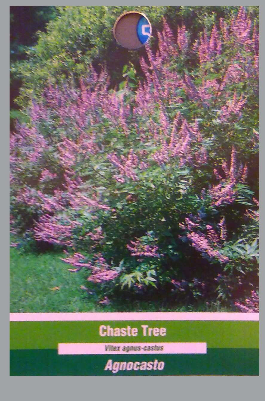 Vitex Chaste Tree 5 Gal Large Plant Trees Flowers Easy To Grow