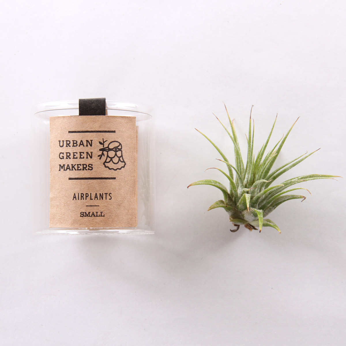 Ionantha Air Plant In Jar Free Shipping Sold By Urban Green