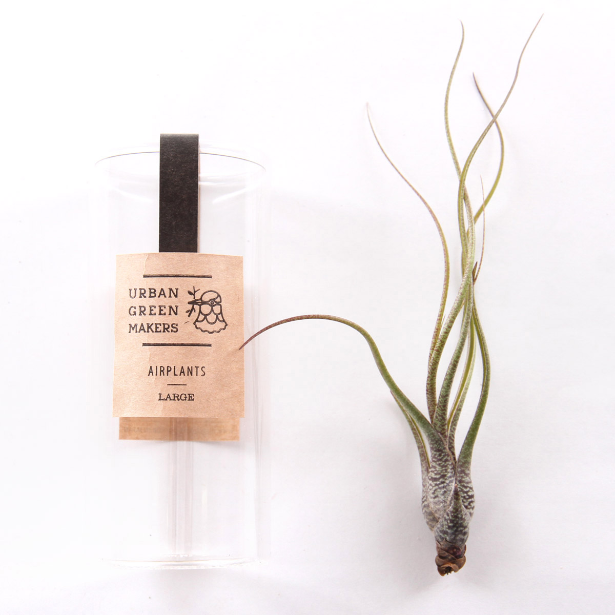 Butzii Air Plant In Jar Free Shipping Sold By Urban Green Makers